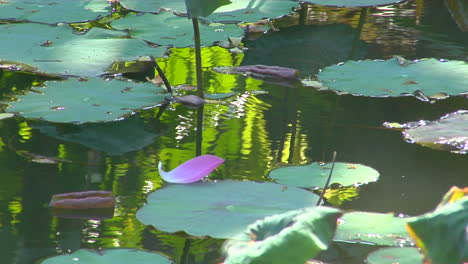 A-Petal-Floats-Past-Lily-Pads-In-A-Pond-1