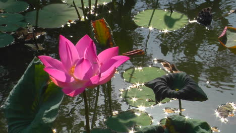 A-Waterlily-Bobs-In-A-Pond