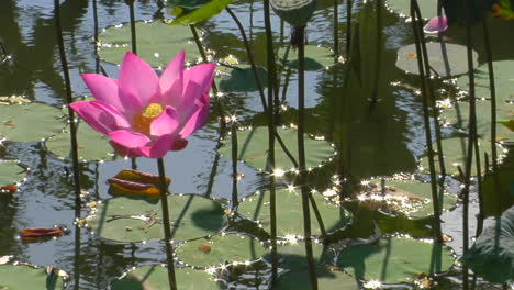 A-Waterlily-Bobs-In-A-Pond-1
