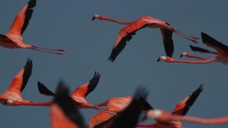 Flamingo-36