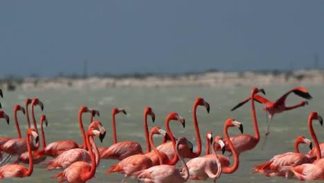 Flamingo-38