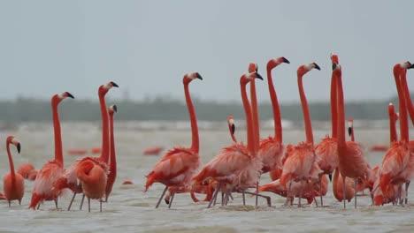 Flamingo-42