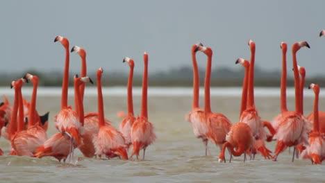Flamingo-50
