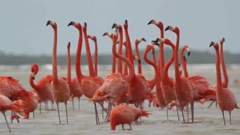 Flamingo-56