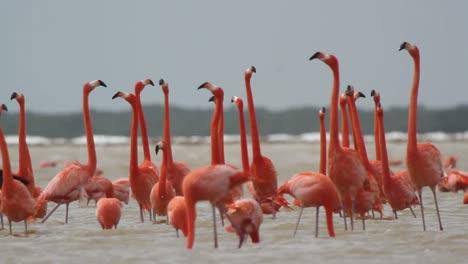 Flamingo-61