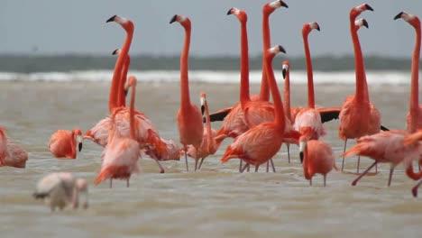 Flamingo-62