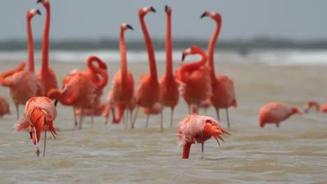 Flamingo-63