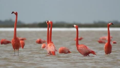 Flamingo-65