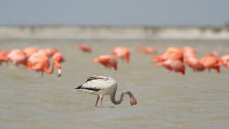 Flamingo-67