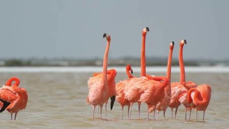 Flamingo-70