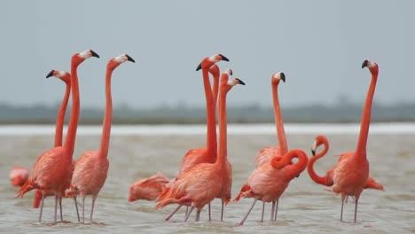 Flamingo-71