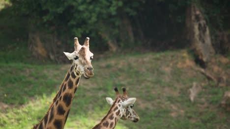 Giraffe-00