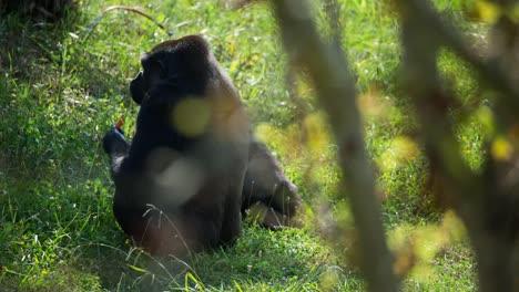 Gorilla-00