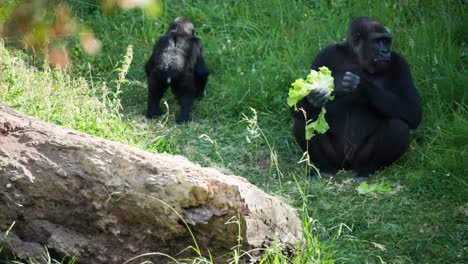 Gorilla-03