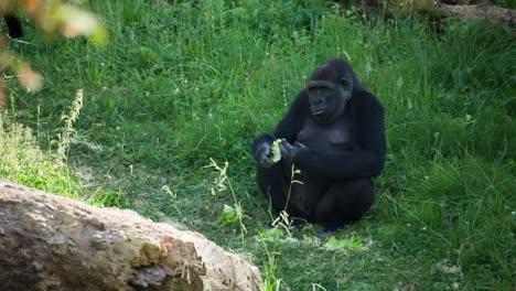 Gorilla-04