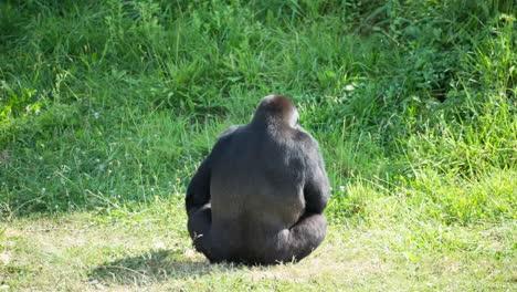 Gorilla-05