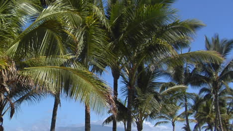 Pan-Across-Beautiful-Palms-Which-Line-A-Tropical-Beach-In-Hawaii