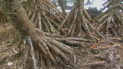 A-Slow-Pan-Across-The-Roots-Of-Mangrove-Trees-With-The-Ocean-In-Background