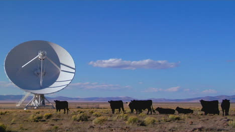 A-Satellite-Dish-Sits-Amongst-Cows-In-A-Desolate-Field