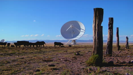 A-Satellite-Dish-Sits-In-A-Field-With-Cattle-And-Old-Fence-Posts
