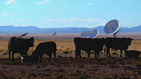 A-Satellite-Dish-Sits-In-A-Field-With-Cattle