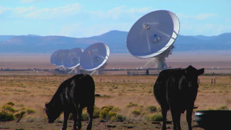 A-Satellite-Dish-Sits-In-A-Field-With-Cattle-1