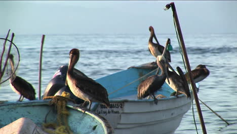 Six-pelicans-stand-on-two-rowboats-floating-in-the-water