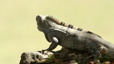 Iguana-00