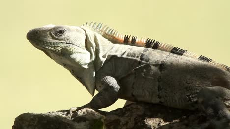 Iguana-01