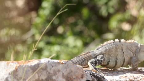Iguana-03