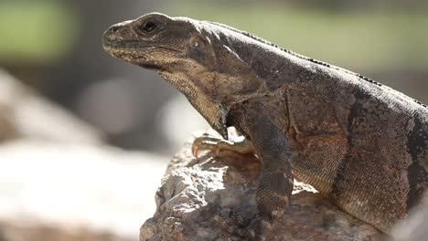 Iguana-06