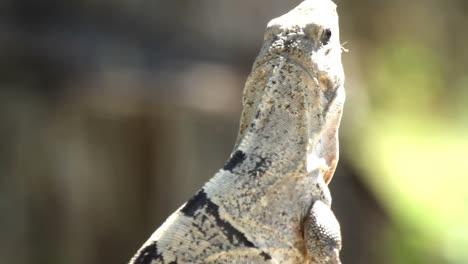 Iguana-09