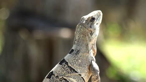 Iguana-10