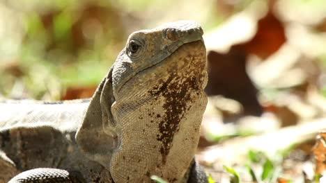 Iguana-11