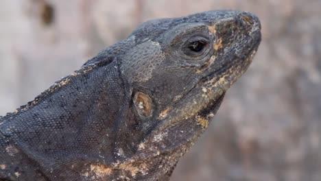 Iguana-12