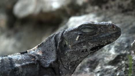 Iguana-13