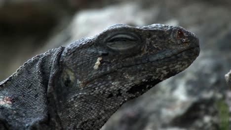 Iguana-14