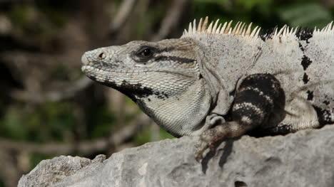 Iguana-19