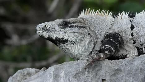 Iguana-20