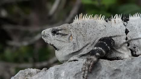 Iguana-21