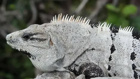 Iguana-24