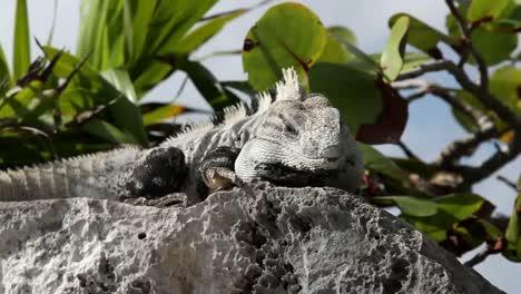 Iguana-26