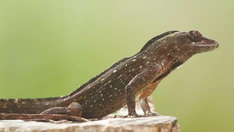 Lizard5