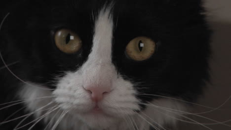 A-black-and-white-cat-watches-intently