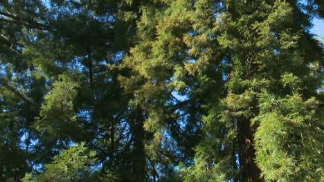 Sequoia-trees-in-Big-Sur-California-1