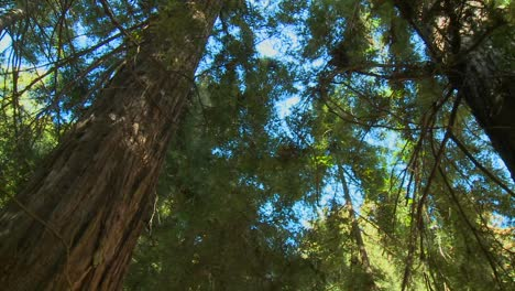 A-low-angle-shot-of-sequoia-trees-in-Big-Sur-California