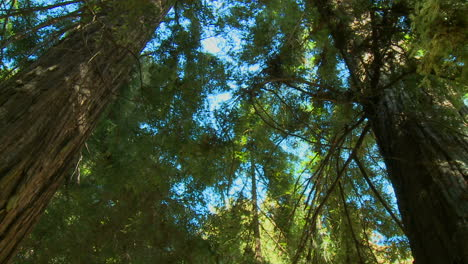 A-low-angle-shot-of-sequoia-trees-in-Big-Sur-California-1