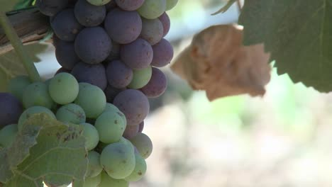 Vertical-pan-of-wine-grapes-ripening-in-a-Monterey-County-vineyard-California