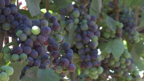 Clusters-of-wine-grapes-ripening-in-a-Monterey-County-vineyard-California