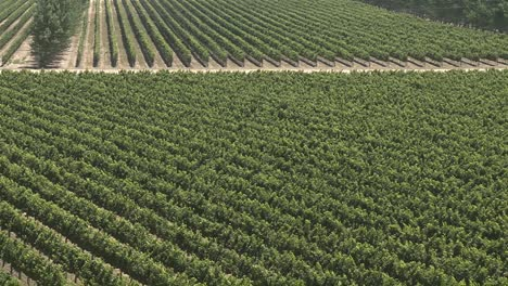 A-vertical-pan-over-a-vineyard-in-the-Salinas-Valley-wine-country-Monterey-County-California